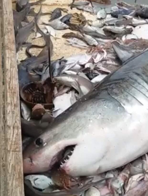 Рыбак поймал акулу-людоеда - и нашел способ выпустить ее обратно в воду!