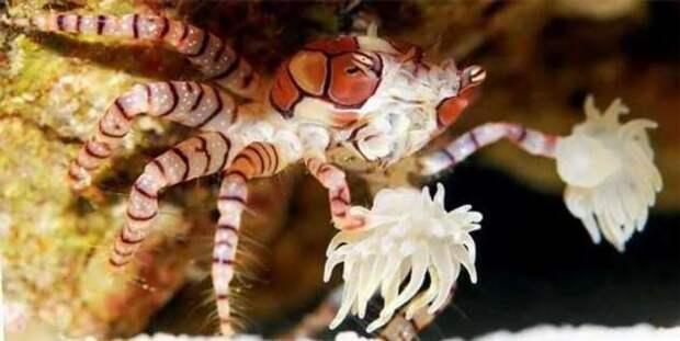 Краб-боксёр: Симбиоз, достойный премии «Оскар». Вступив в заговор с актинией, краб стал чемпионом рифа по боксу (8 фото)