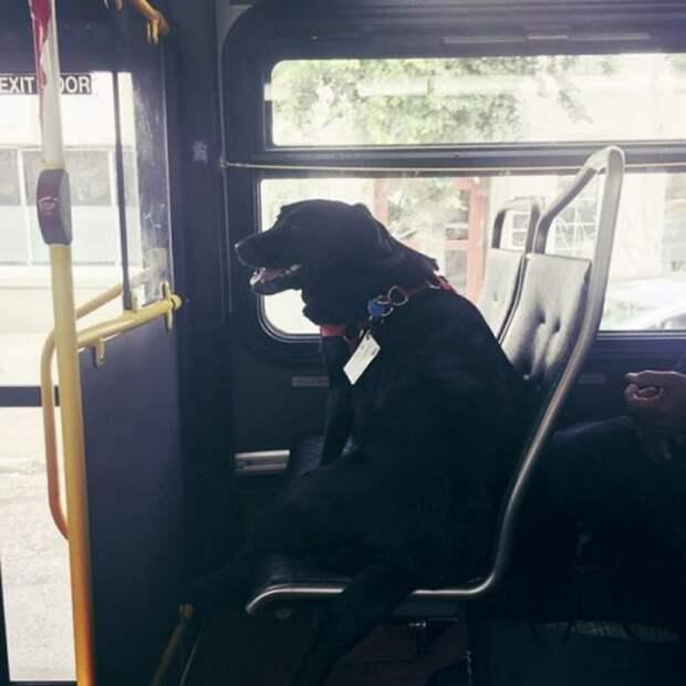 Собака, которая каждый день самостоятельно ездит на автобусе в свой любимый парк