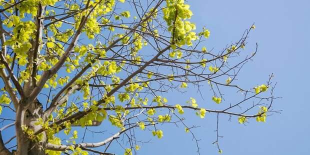 Дерево на Фестивальной кронируют весной — управа