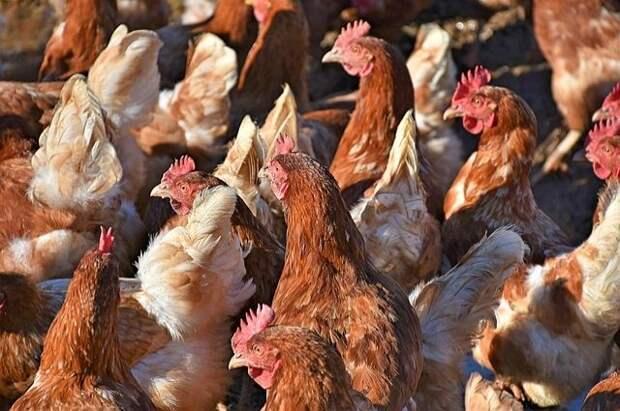 Юрист разъяснил суть закона о запрете на разведение кур на дачных участках