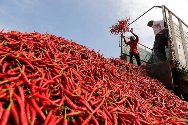 Ахмедабад, Индия. Сбор красного перца на плантации