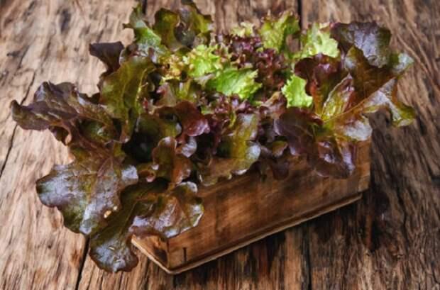 Лолло Росса: самый красивый среди салатов