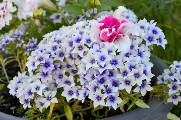 Флокс, цветущий весной