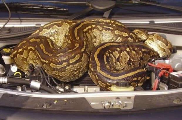 Житель Зимбабве «пригрел» огромного питона под капотом машины