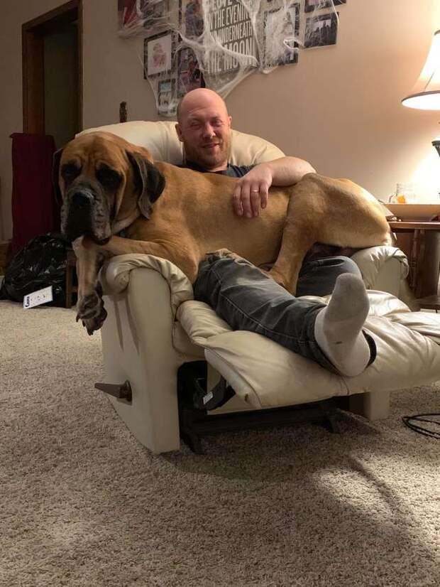 Не рассчитал: огромный пёс запрыгнул на колени к хозяину, а через мгновение оба валялись на полу