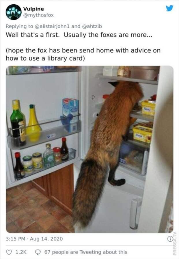 Незваные гости — лисицы