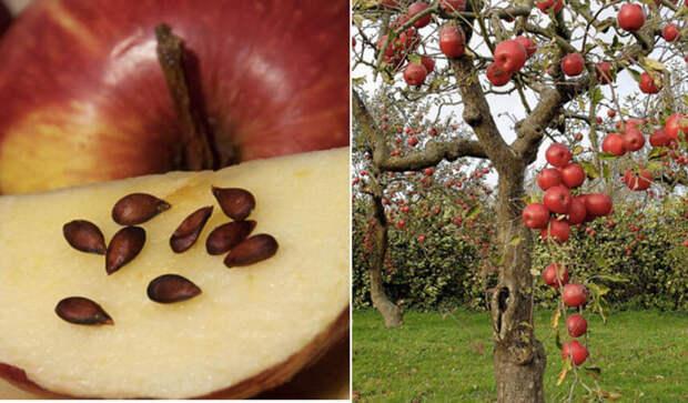 Яблони из семян: что из них вырастет?