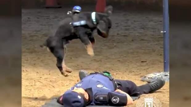 Собака делает искусственное дыхание ″погибшему″ офицеру. Вот видео