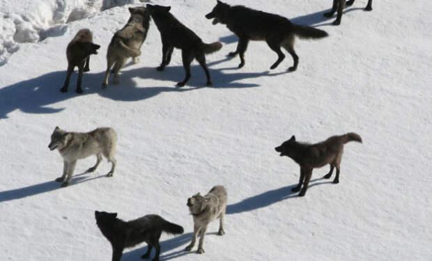 Как устроена волчья стая