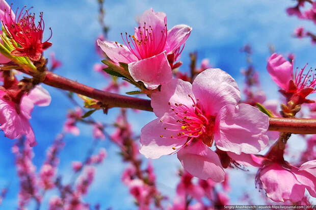 Как цветут персики в Крыму