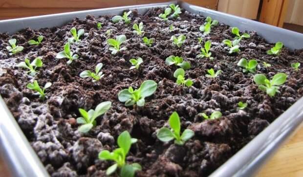 Выращивание рассады примулы из семян