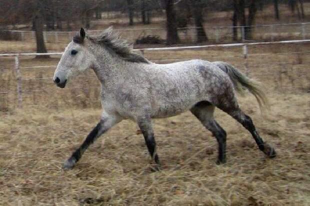 Красивые создания, о которых мало кто знает — кудрявые лошадки