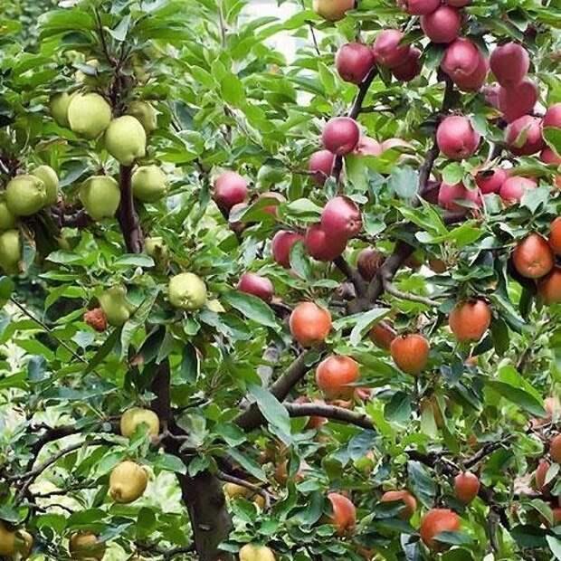 Но вот в Москве в Мичуринском саду растет яблоня, на которой привито 86 сортов. Фабрика идей, дерево-сад, интересное, растения, садоводство, факты