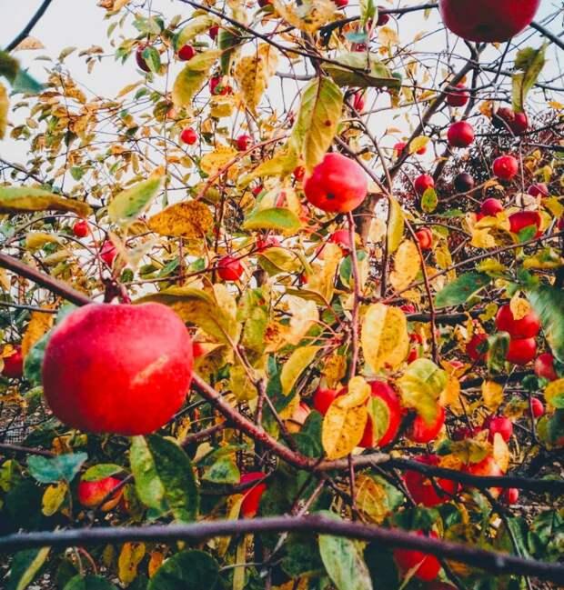 Как посадить правильно яблоню и ухаживать за ней