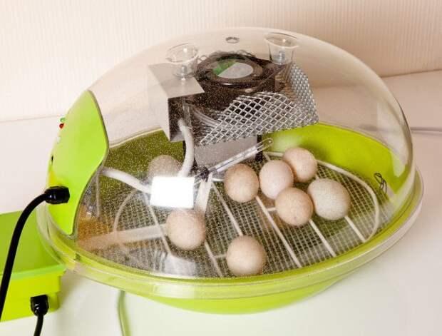 Свои цыплята из инкубатора – все тонкости закладки яиц