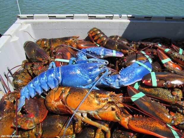 Мутации омаров: 6 странных разновидностей в порядке увеличения редкости