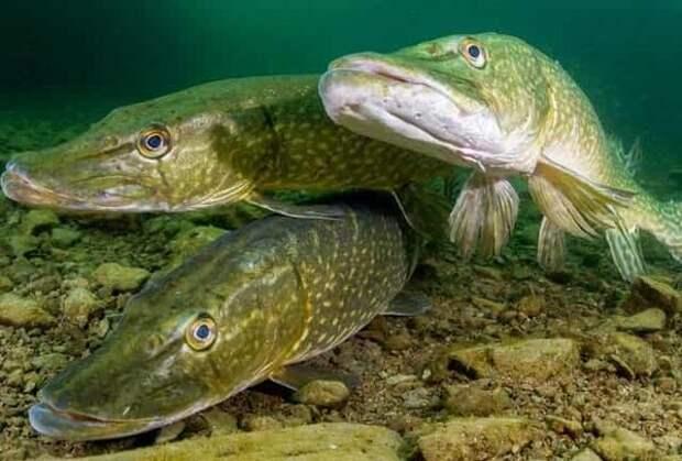 Живой случай на рыбалке, как стая щук уничтожила весь утиный выводок за 60 секунд