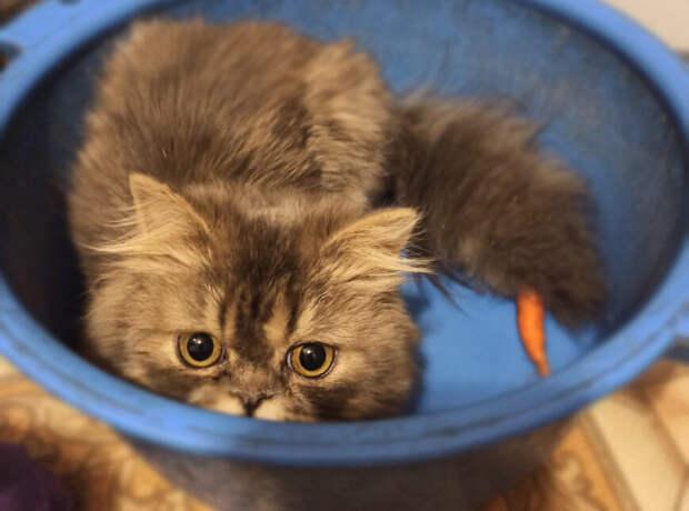 Пьяницы, разводившие породистых котят, выбросили их на улицу, чтобы не раздражали. Одного успели спасти, он вырос красавцем!