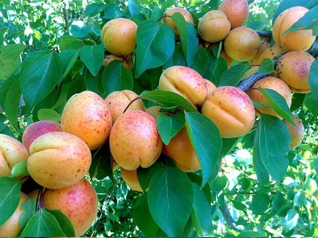 Мифы о плодовых культурах – 26 самых распространенных заблуждениях садоводов