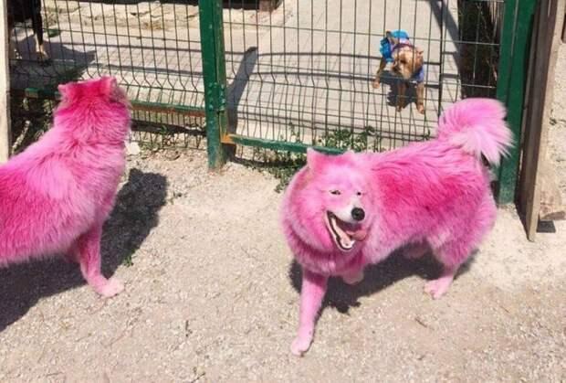 Окрашенных в розовый цвет самоедов отправили в питомник Минобороны