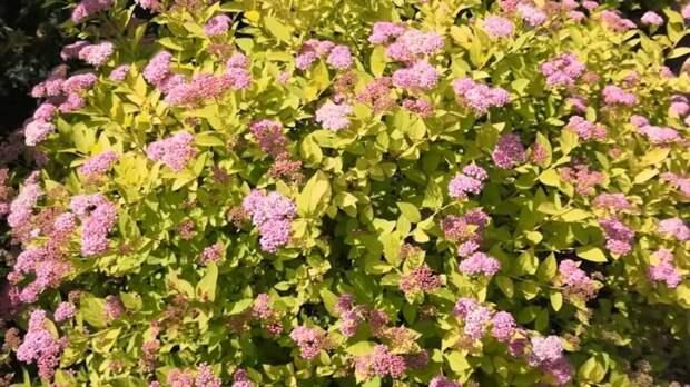 ТОП-5 неприхотливых кустарников, которые очень красиво цветут