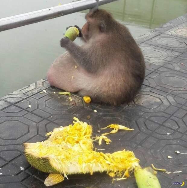 """Макаку по кличке """"Жируха"""" посадят на диету"""