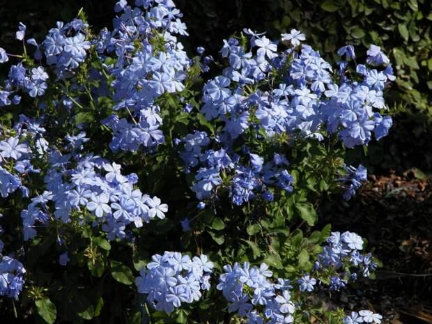 Моя любимая свинчатка плюмбаго – цветок цвета летнего неба