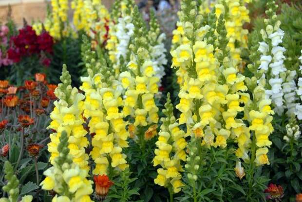 cluster of yellow White Snapdragon Dog flowers