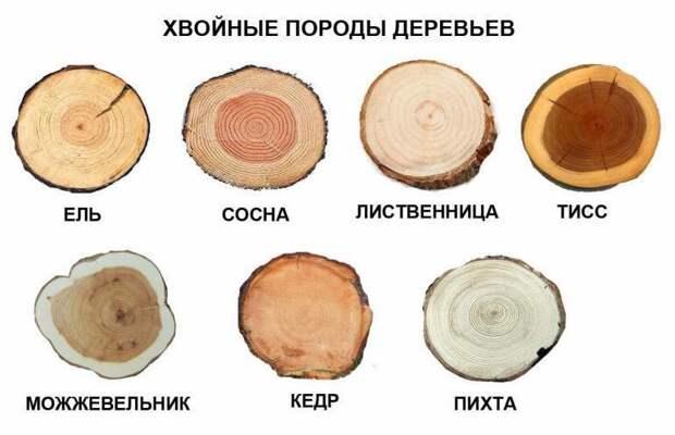Хвойные породы деревьев и свойства их древесины деревья, древесина, интересное, природа, факты