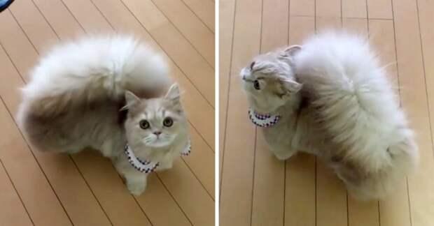 Очаровательная кошечка Белль с шикарным хвостом, почти как у белки