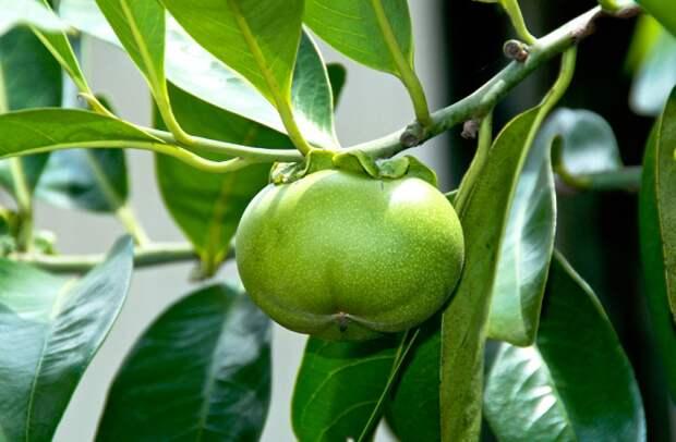 Манцинелла - самое опасное дерево в мире - АЗЕРТАДЖ - Азербайджанское  государственное информационное агентство