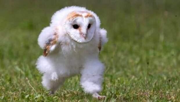 Сова, спешащая куда-то по траве, умилила миллионы и стала популярным мемом