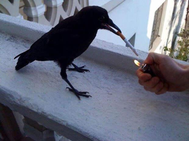 Совсем плохая ворона вороны, животные, птицы, фото