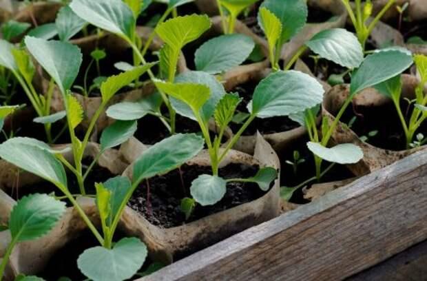 Все о посеве, выращивании и подкормке капусты (в таблицах)