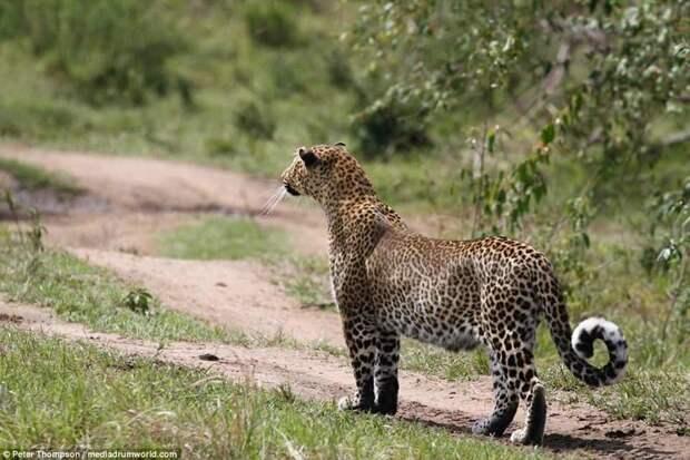 Какая красивая кошка! битва животных, бородавочник, заповедник, кения, леопард, масаи-мара, самка, схватка
