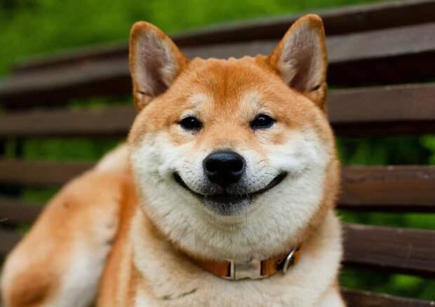 Очаровательные собаки породы сиба-ину