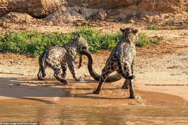 Вытащили добычу из воды. Вроде все шло хорошо Фото животный мир, битва животных, дикие животные, добыча, охота, фотограф, ягуары