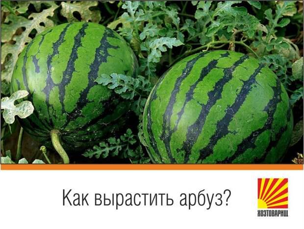 Пробовали выращивать арбузы на своем участке?