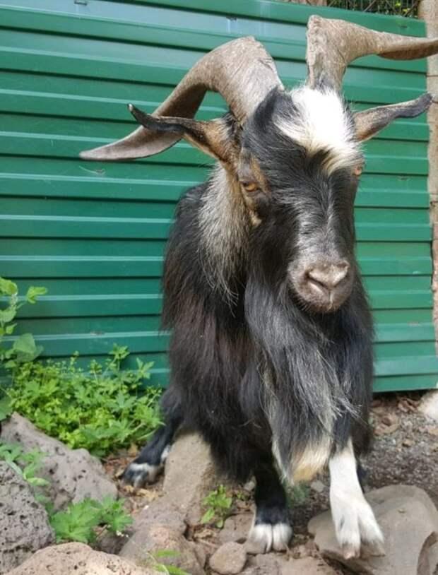 В Приморском сафари-парке умер козел Тимур, друг тигра Амура