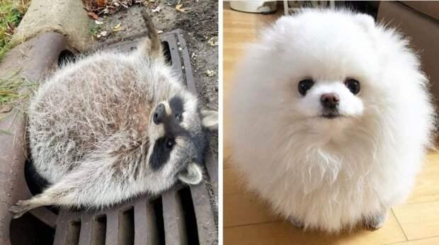 20 забавных животных, которые почти достигли формы идеального круга животные, кошка, круглые животные, собака
