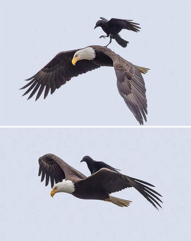 """Одна из """"поездок"""" вороны на орле вороны, животные, птицы, фото"""