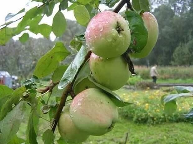 Яблони, груши и айва