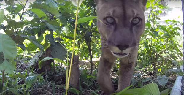Спасателям было грустно осознавать, что Муфаса уже никогда не сможет полностью приспособиться к жизни на воле видео, дикая природа, животные, лев, освобождение, природа, фото, хищник