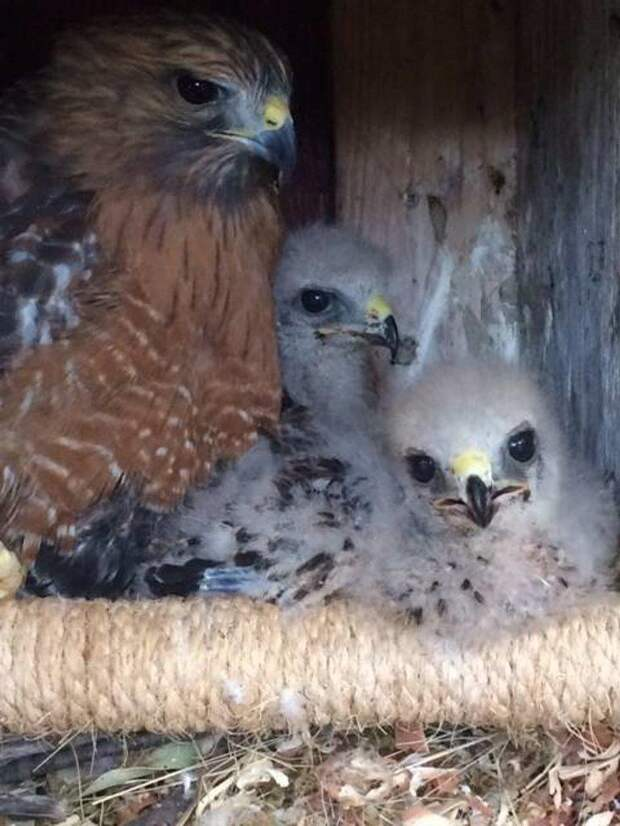 Фермер подложил яйцо курицы в гнездо орла и стал наблюдать