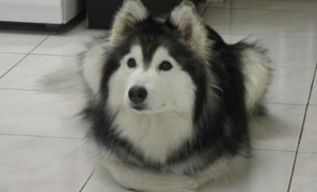 Собака росла с кошками и через год хозяин обратил внимание на ее лапы