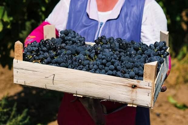 Молодые вина «Шато Тамань» открывают новый винодельческий сезон 2020