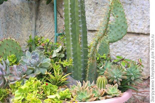 Кактусы в садовой вазе