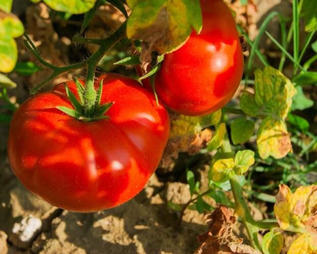 Подборка самых мясистых, «арбузных» томатов: 6 сортов на будущий сезон