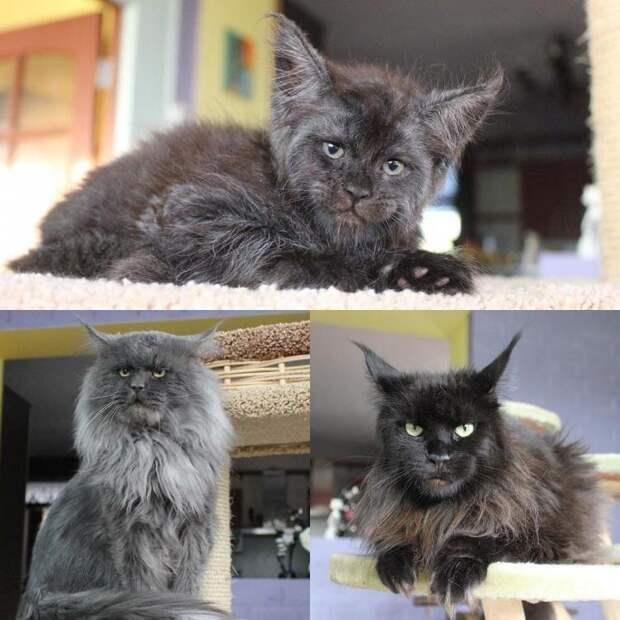 То есть, никакой это не «демон», а просто двухмесячный котенок с необычным взглядом. Виной тому порода — посмотрите, какие родители у Валькирии! животные, кошки, мейн-кун, милота, питомник, россия